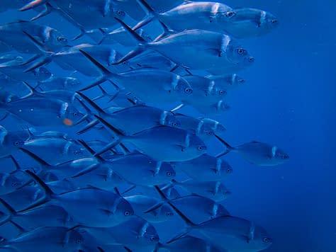 som ett fiskstim